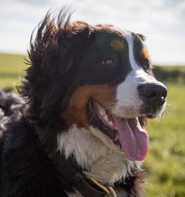 Bernese Mountain Dog Information Dog Breed Facts Dogellcom