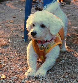 Bichon Frise Information Dog Breed Facts Dogellcom