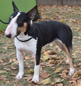 Bull Terrier Information Dog Breed