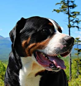 Greater Swiss Mountain Dog Information Dog Breed Facts