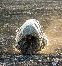 Komondor Information Dog Breed Facts Dogellcom