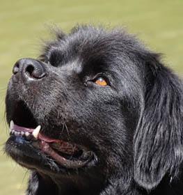 Newfoundland Information Dog Breed Facts Dogellcom