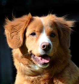 Nova Scotia Duck Tolling Retriever Information Dog Breed Facts