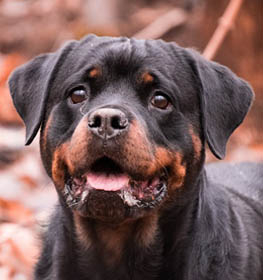 Rottweiler Information Dog Breed Facts Dogell Com