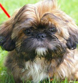 Shih Tzu Information Dog Breed Facts