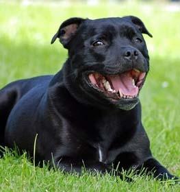 stafford bull terrier