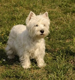West Highland White Terrier Information
