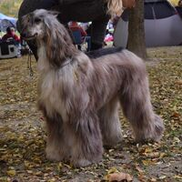 Afghan Greyhound At The Competition