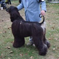 Curly Tailed Black Afghan Greyhound At The Dog Show
