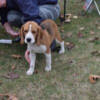 Beagle Dog Before The Dog Show