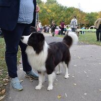 Black And White Border Collie Dog Show