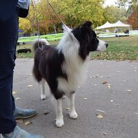 Border Collie Before The Competition