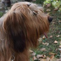 Berger Briard Dog Breed Watching Her Owner