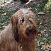 Berger Briard Dog Tongue
