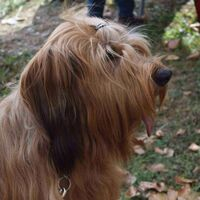 Briard Dog Autumn