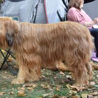 Briard Dog Breed Image Side View
