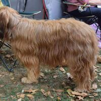 Briard Dog Shot From The Side