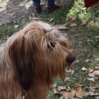 Briard Dog Waiting For The Dogshow