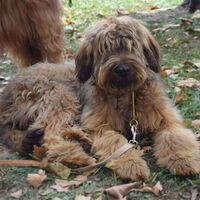 Cute Few Months Old Berger Briard Dog