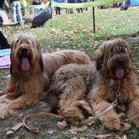 French Berger Briard Dog Sisters