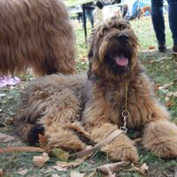 Nice Few Months Old Smiling Berger Briard Dog