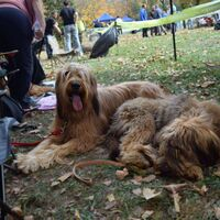 Relaxing Briard Dog Sisters