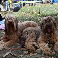 Two Beautiful Lying Briard Dogs At The Dogshow