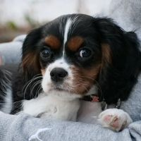 Saci The Tricolor Cavalier King Charles Spaniel Puppy