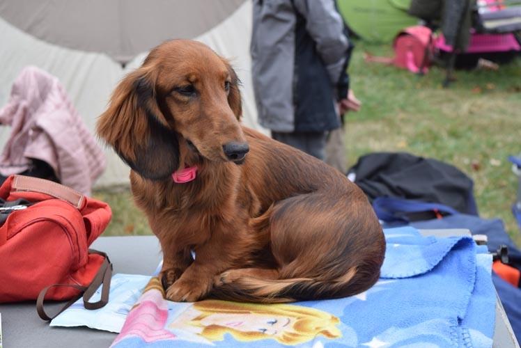Dachshund Information Dog Breed Facts