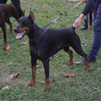 Doberman Pinscher Breed Dog Show