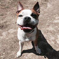Smiling Frenchie Mix Boston Bulldog Terrier