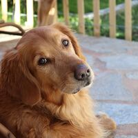 Beautiful Golden Retriever Dog Breed