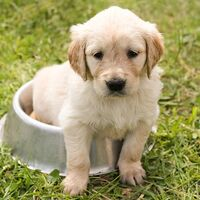 Cute Golden Puppy Summer