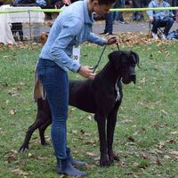 Black Great Dane Dog Breed