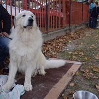 Double Coated Great Pyrenees