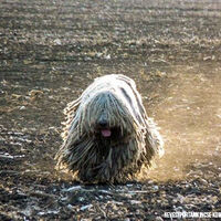 Cute Komondor Dog Running