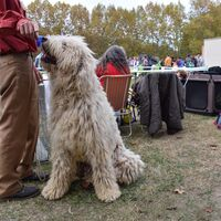 Komondor Dog Breed Picture