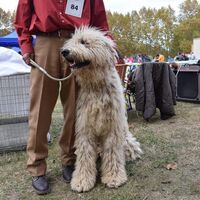 Komondor Dog Photo