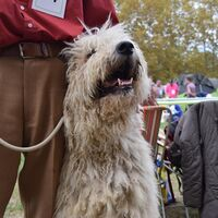 Smiling Komondor After The Dogshow