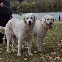 Double Coated Kuvasz Dog Breed