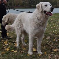 Kuvasz Perfect Guard Dogs
