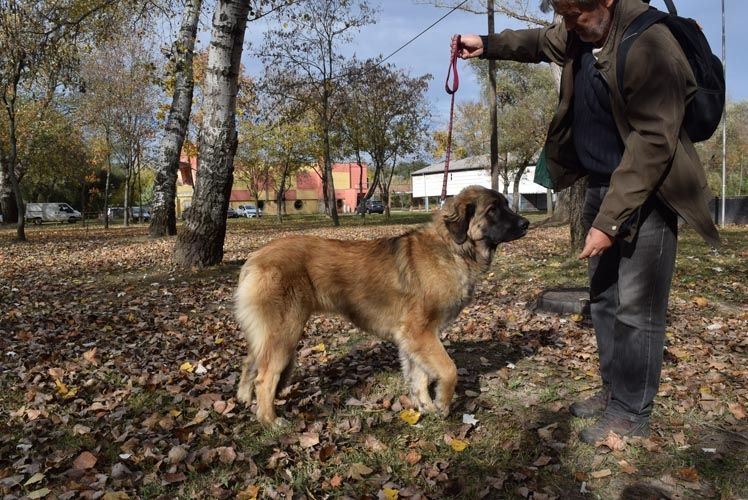 Leonberger Information & Dog Breed Facts | Dogell.com