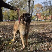 Leonberger Dog Ready For The Competition