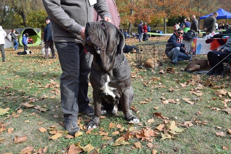 Neapolitan Mastiff Information & Dog Breed Facts | Dogell com