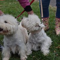 Very Active West Highland White Terriers