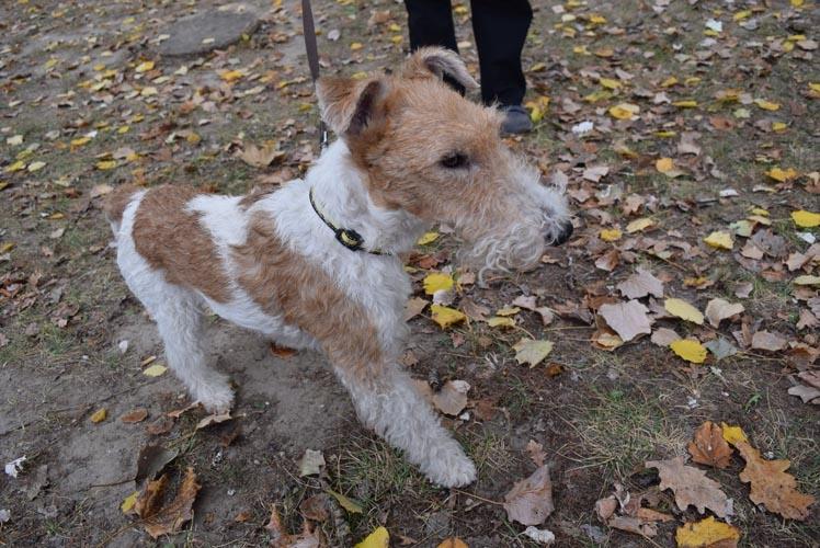 Wire Fox Terrier Information Dog