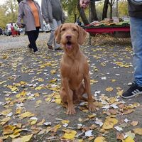 Hungarian Wirehaired Vizsla Competition